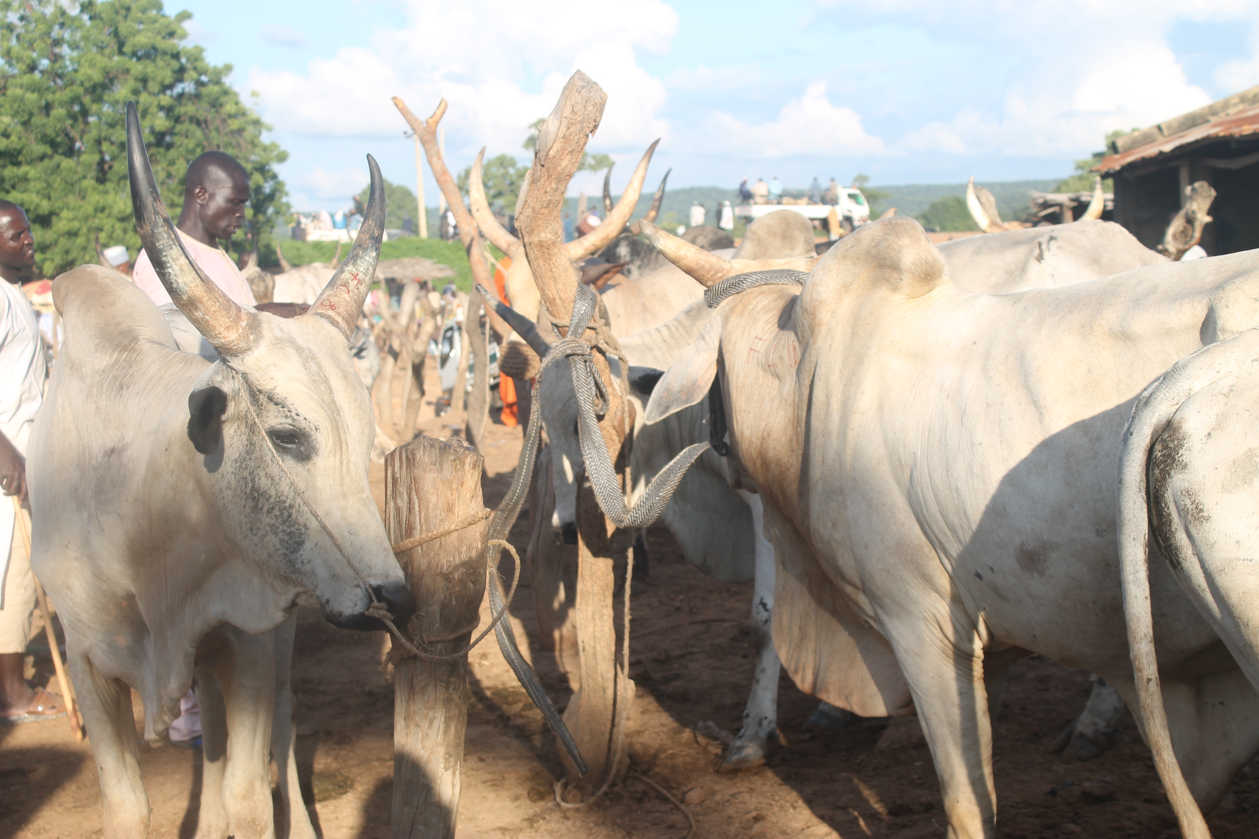 Interesting facts about cattle farming