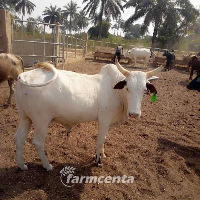Farmcenta, an agri-tech company in Nigeria cattle investment