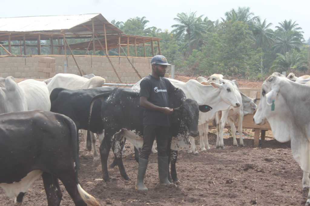 A farm assistant attending to one of the bulls on the ranch