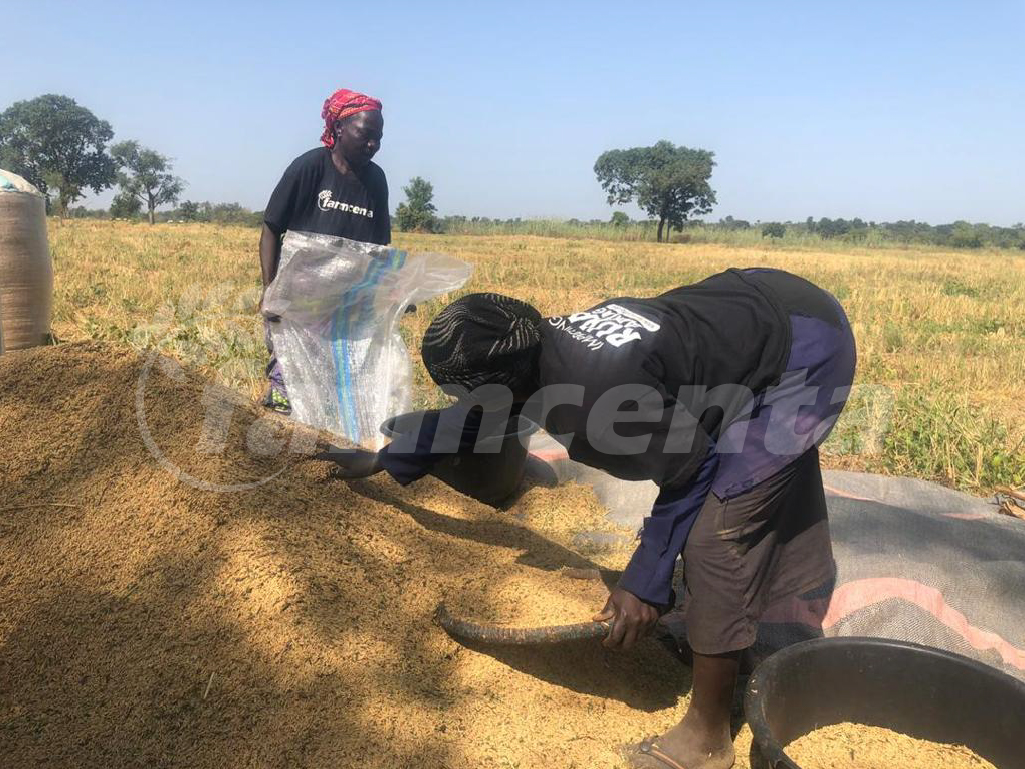 Importance of Rice Farming