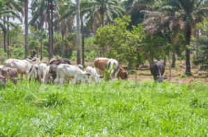 Dairy production in Nigeria